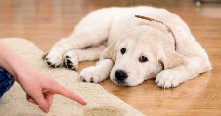 adiestrar cachorro orinar