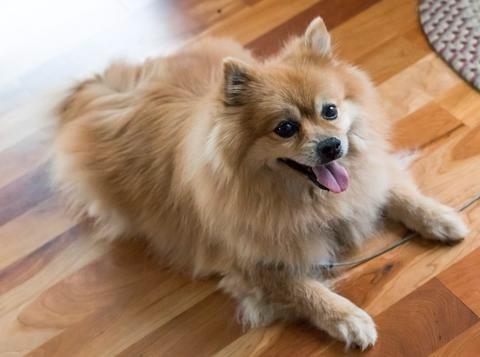 Pomeraniana